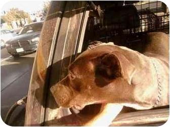 American Pit Bull Terrier/Labrador Retriever Mix Dog for adoption in Anza, California - Birdie
