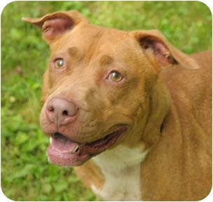 American Pit Bull Terrier Dog for adoption in Chicago, Illinois - Candy