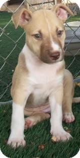 Shepherd (Unknown Type)/Husky Mix Puppy for adoption in Tustin, California - Cola