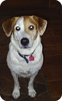 Brittany/Hound (Unknown Type) Mix Dog for adoption in cedar grove, Indiana - Spotty