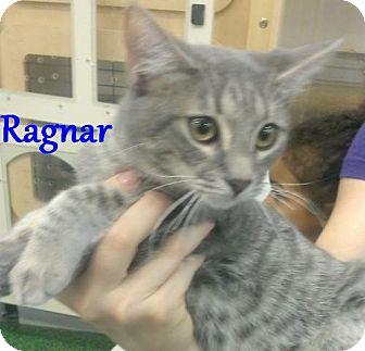 Domestic Mediumhair Kitten for adoption in Chandler, Arizona - Ragnar