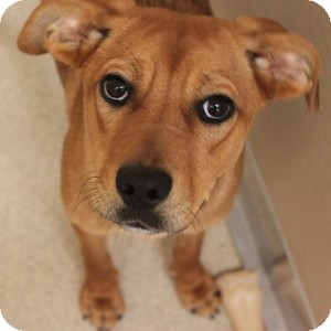 Shepherd (Unknown Type) Mix Dog for adoption in Naperville, Illinois - Taffy