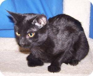 Domestic Shorthair Kitten for adoption in Colorado Springs, Colorado - K-Nikki2-Pepper
