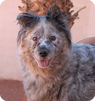 Australian Shepherd/Cattle Dog Mix Dog for adoption in Las Vegas, Nevada - Rosie