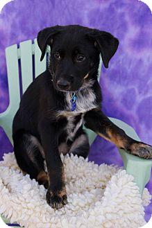 Labrador Retriever/Blue Heeler Mix Puppy for adoption in Fort Lupton, Colorado - Rocky Road