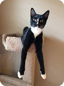 Domestic Shorthair Cat for adoption in Chattanooga, Tennessee - Sylvester