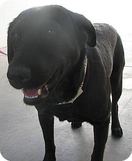Labrador Retriever Dog for adoption in Phoenix, Arizona - Tabitha