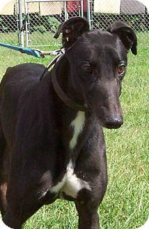Greyhound Dog for adoption in Randleman, North Carolina - Nebraska
