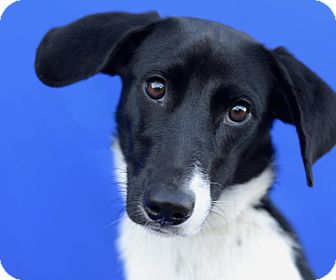 Border Collie/Terrier (Unknown Type, Small) Mix Dog for adoption in LAFAYETTE, Louisiana - BAILEY