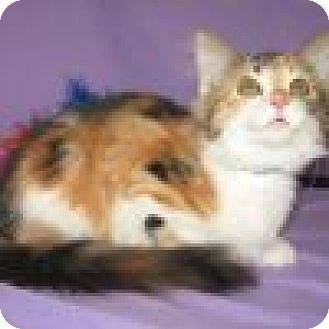Domestic Shorthair Cat for adoption in Powell, Ohio - Lezzette