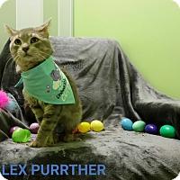 Adopt A Pet :: lex purrther - Muskegon, MI