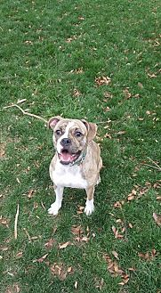 Pit Bull Terrier Mix Dog for adoption in Westminster, Maryland - Suzie
