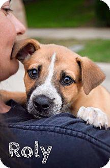 Australian Cattle Dog/Shepherd (Unknown Type) Mix Puppy for adoption in DFW, Texas - Roly