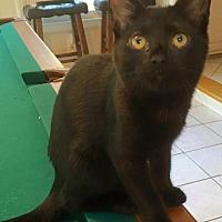 Domestic Shorthair Kitten for adoption in Burlington, North Carolina - FRIDA