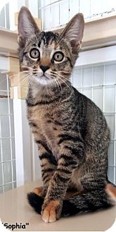 Domestic Shorthair Kitten for adoption in Key Largo, Florida - Sophia