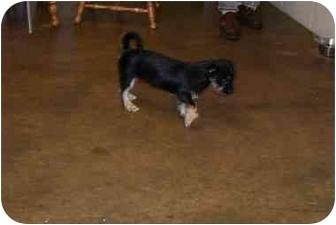 Yorkie, Yorkshire Terrier Mix Dog for adoption in Osceola, Arkansas - Pumpkin