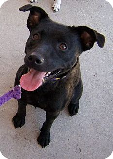 Border Collie/Terrier (Unknown Type, Medium) Mix Dog for adoption in Lafayette, Louisiana - Macy