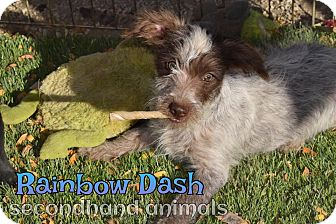 Terrier (Unknown Type, Small) Mix Puppy for adoption in Rosamond, California - Rainbow Dash