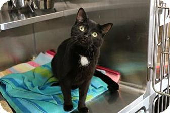 Domestic Shorthair Cat for adoption in Port Hope, Ontario - Tazz