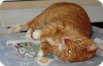 Domestic Shorthair Cat for adoption in brewerton, New York - chelsea