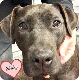 Labrador Retriever Mix Dog for adoption in Eden, North Carolina - Shelby