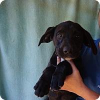 Adopt A Pet :: Pongo - Oviedo, FL