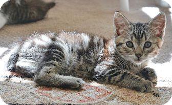 Manx Kitten for adoption in Davis, California - Nova