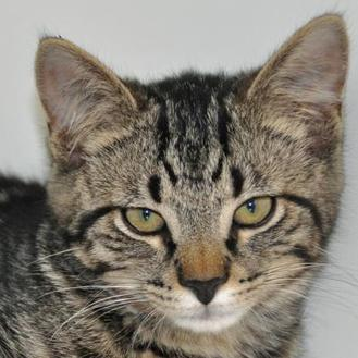 Domestic Shorthair/Domestic Shorthair Mix Cat for adoption in Woodstock, Illinois - Bullwinkle