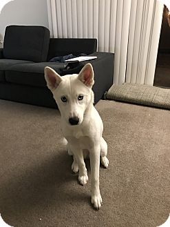 Husky Puppy for adoption in Pleasant Hill, California - Skyy