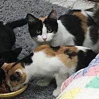 Adopt A Pet :: Kelly's Kittens - Harrison, NY