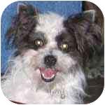 Chihuahua/Maltese Mix Dog for adoption in Pittsboro/Durham, North Carolina - Elsie