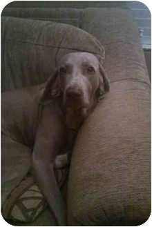 Weimaraner Dog for adoption in Grand Haven, Michigan - Vetta