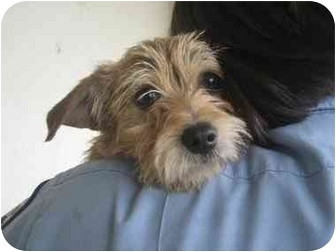 Terrier (Unknown Type, Small)/Yorkie, Yorkshire Terrier Mix Dog for adoption in Edmonton, Alberta - Chili