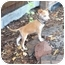 Photo 2 - Chihuahua Mix Puppy for adoption in Westminster, Colorado - Sputnik