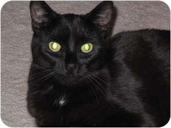 Domestic Shorthair Cat for adoption in Port Republic, Maryland - Bobbie