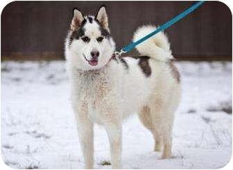 Akita/Alaskan Malamute Mix Dog for adoption in Port Hope, Ontario - Merlin