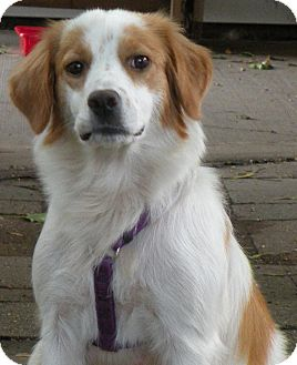 Brittany Mix Dog for adoption in Belvidere, Illinois - Lyra *FOSTERED*