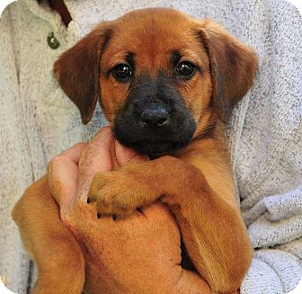 Boxer Mix Puppy for adoption in East Hartland, Connecticut - Charlie