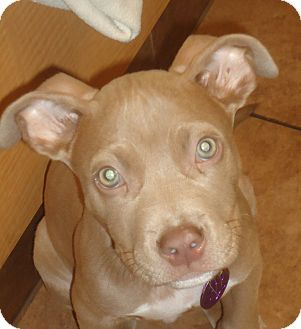American Pit Bull Terrier Mix Puppy for adoption in Chicago, Illinois - Rhys