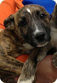 Bull Terrier/German Shepherd Dog Mix Puppy for adoption in Gainesville, Florida - Brantley