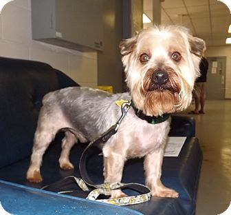 Silky Terrier Mix Dog for adoption in Fort Riley, Kansas - Boomer