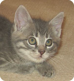 Domestic Shorthair Kitten for adoption in Hamilton, New Jersey - LUCY - 2013