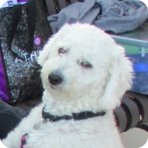 Poodle (Miniature) Mix Dog for adoption in Gilbert, Arizona - Beau