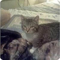 Adopt A Pet :: Bootz - Oxford, CT