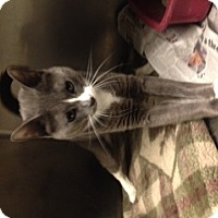 Adopt A Pet :: Tiny Tim - Whitestone, NY