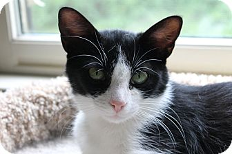 Domestic Shorthair Cat for adoption in Knoxville, Tennessee - Brie