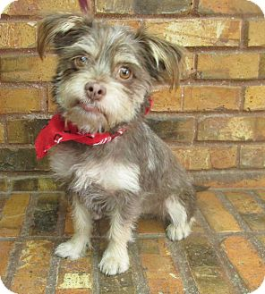 Cairn Terrier/Yorkie, Yorkshire Terrier Mix Dog for adoption in Benbrook, Texas - Rookie