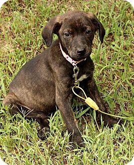 Boxer/Golden Retriever Mix Puppy for adoption in Brattleboro, Vermont - Sissy