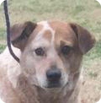 Spaniel (Unknown Type)/Labrador Retriever Mix Dog for adoption in Mount Pleasant, South Carolina - Tanner