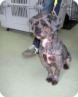 Standard Schnauzer/Poodle (Miniature) Mix Dog for adoption in Kirkland, Quebec - Scruffy